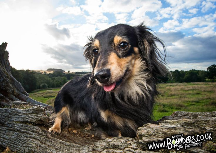 Say hello to Mikey, the Dachshund! Want an Awesome Portrait of your Dog? Want to Capture your Dog's Personality Forever? info@bounders.co.uk 07774103192 facebook.com/boundersdogphotography  dog, derbyshire, chesterfield, peak district, portrait, dachshund, little dog, cute, puppy, tongue, landscape, photo, photography, photographer, fun, unique, pooch, adventure, playtime, personality,