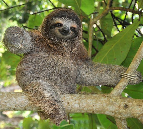 3 Toed Sloth Habitat   Sloth Facts - Animal Facts Encyclopedia