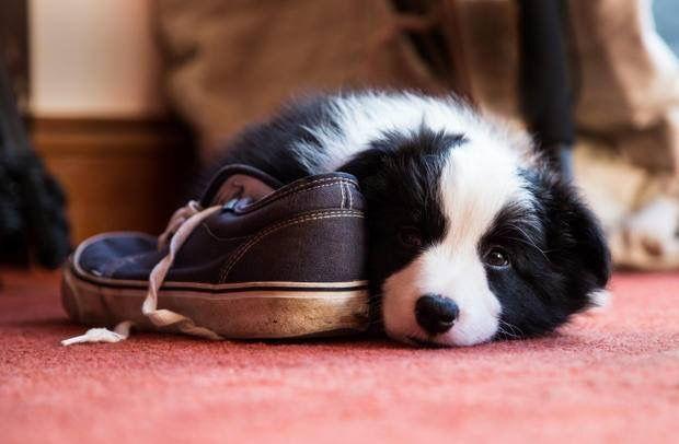 Border Collie Pup ~