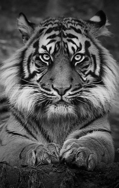 Sumatra Tiger @✔ b l a c k w h i t e