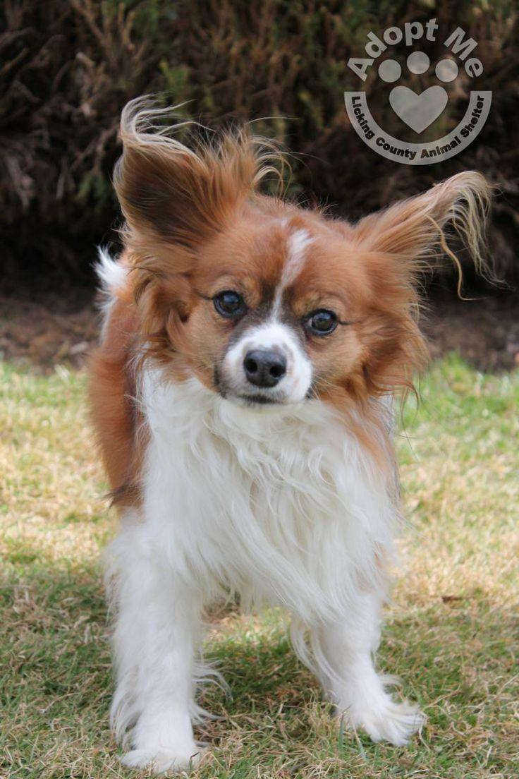 Petfinder Adoptable   Dog   Papillon   Heath, OH   164~Sparky