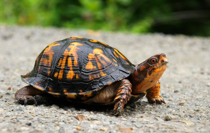 https://flic.kr/p/9V9cZz | Eastern Box Turtle | This little fellow looks like he just got a wash and wax.  One of the brightest color box turtles I ever seen.  Just guessing, the shell was probably about 8 inches in diameter.