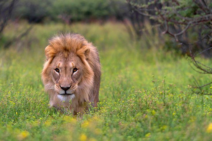 Der Löwe ist los wurde in Namibia, Kamanjab aufgenommen