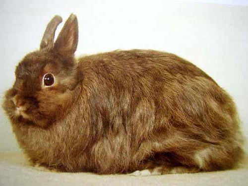 Лисьи карликовые кролики  Зачастую их еще называют карликовой лисой. Они относится к длинноволосым кроликам. Голова у них покрыта гладкой шерстью, а по телу длинная шерсть. Их тело как будто покрыто плащом из шерсти. Длина волоса по стандартам не больше 7 миллиметров, но не меньше 4 миллиметров. Тело у них коренастое, шею почти не видно. Голова крупная, но короткая. Уши расположены недалеко друг от друга, прямостоячие, красиво скруглены на концах.  Идеальная длина для них до 55 миллиметров…