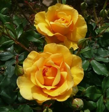 BENITA (Dicquarrel) 1995                 £7.50     Beautiful deep amber/ gold which shuns disease. Produces a spectacular summer show late into the season - just a pity it doesn't have glossy foliage, but it is fragrant. You can't have everything!