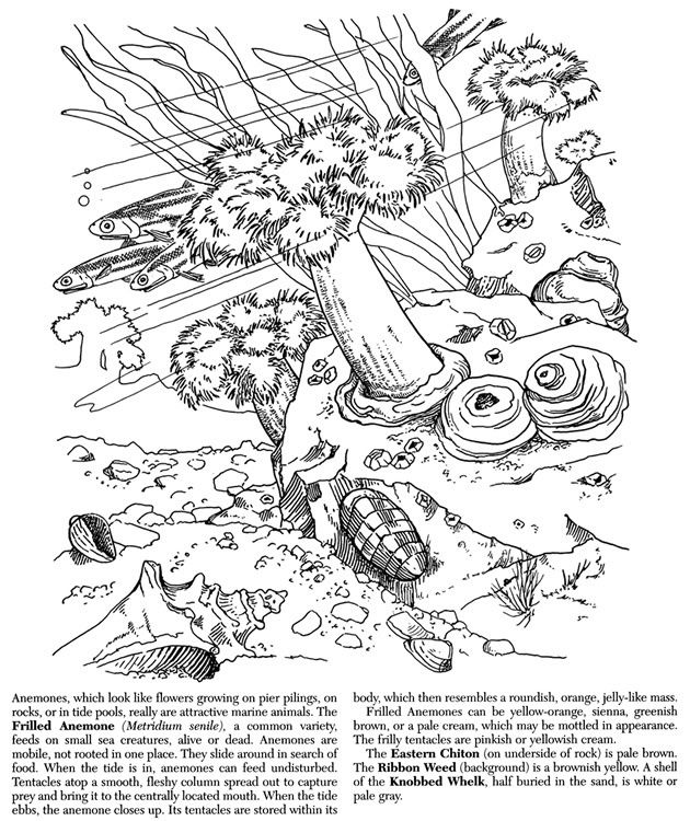sea anemone coloring pages nature sea anemones image by tharens photobucket - Coloring Pages Ariel Sea