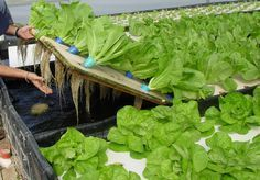 In a raft system (also known as float, deep channel and deep flow) the plants are grown onPolystyrene boards (rafts) that float on top of w... #hydroponicgardening