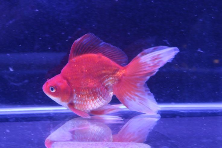 Online mail order Live fish shop, Stocking a large range of aquarium fish including tropical ,cold water and goldfish for sale , all shipped to you.