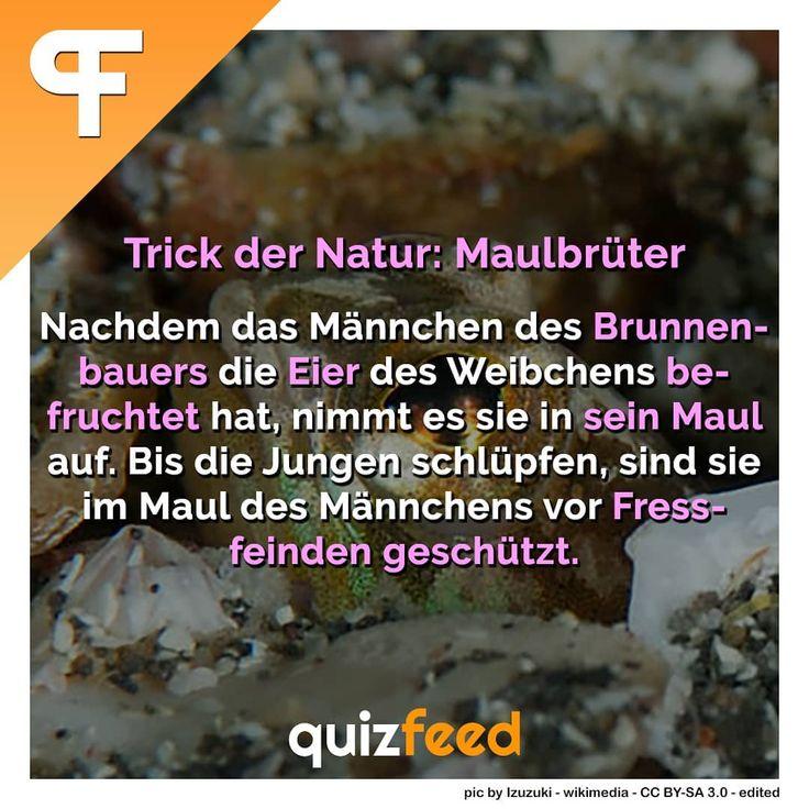 Trick der Natur: Maulbrüter. Nachdem das Männchen des Brunnenbauers die Eier des Weibchens befruchtet hat, nimmt es sie in sein Maul auf. Bis die Jungen schlüpfen, sind sie im Maul des Männchens vor Fressfeinden geschützt. Quiz | Wissen | Fakten (@quizfeed) • Instagram-Fotos und -Videos – quizfeed