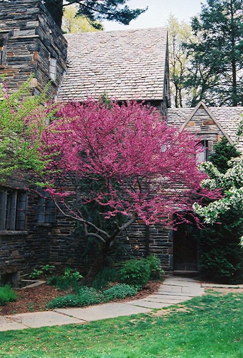 forest pansey redbud tree photos | ... Forest Pansy Redbud (Cercis canadensis 'Forest Pansy') at Chalet