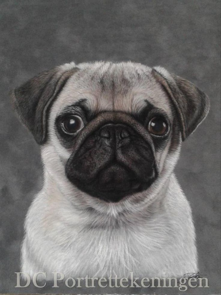 """""""Pug shot"""" realistic portrait drawing made with pastelpencils"""