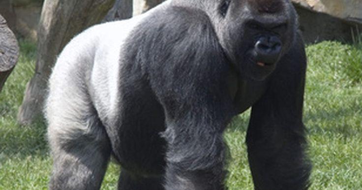 Datos sobre los gorilas de espalda plateada . Los gorilas de espalda plateada son también conocidos como gorilas de montaña. Su nombre científico es Gorilla beringei berigeni, de acuerdo con la Fundación Africana de la Vida Salvaje. Esta especie de gorila no fue conocida sino hasta 1902. Aproximadamente 650 gorilas de espalda plateada viven en el mundo.