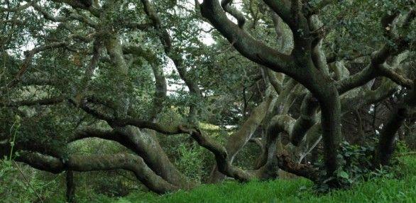 Coast Live Oaks in the Golden Gate Park Oak Woodlands ...