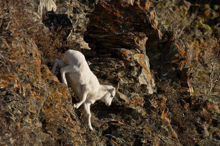 A Dall sheep travels down a steep rock wall. Several pairs of Dall sheep ewes and lambs could be spotted in the vicinity of Windy Corner along Turnagain Arm on November 6, 2017. (Marc Lester / Alaska Dispatch News)