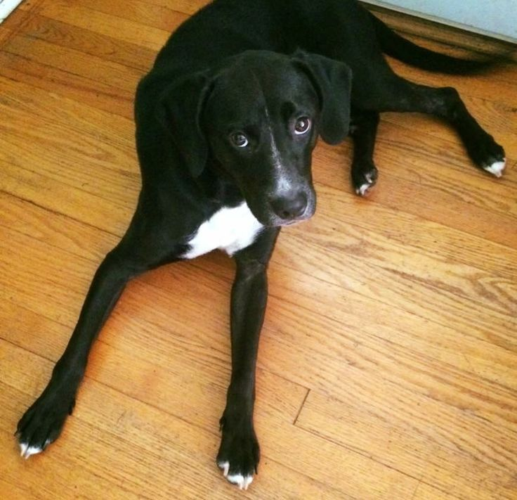 Sweet Bailey  Boxer lab mix ??