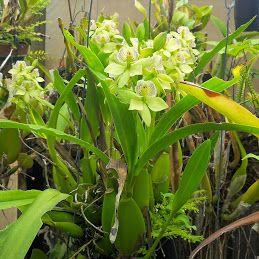 Prosthechea Radiata /Genus Encyclia #orchid