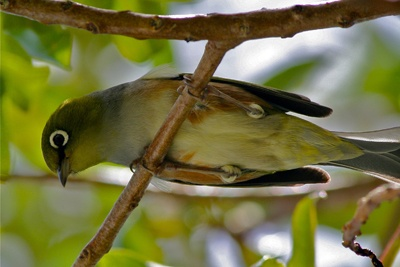 One of our littlest natives - the Silvereye/Waxeye or Tauhou - so cute!