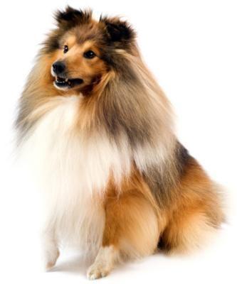 Shetland Sheepdog @Rosie Alaniz Yogi looks nothing like this. Neither did Ranger.
