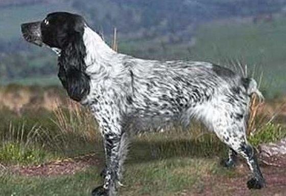 Породы охотничьих собак. Их разновидности, направленность собак и общие сведения об охотничьих породах собак. Фото пород собак для охоты.