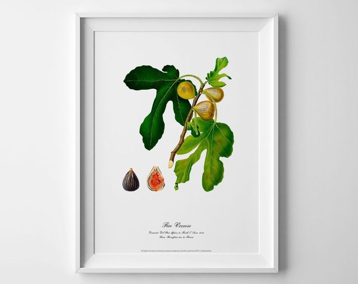 Figs. Botanical art plant poster vintage antique picture home kitchen wall decor #IllustrationArt