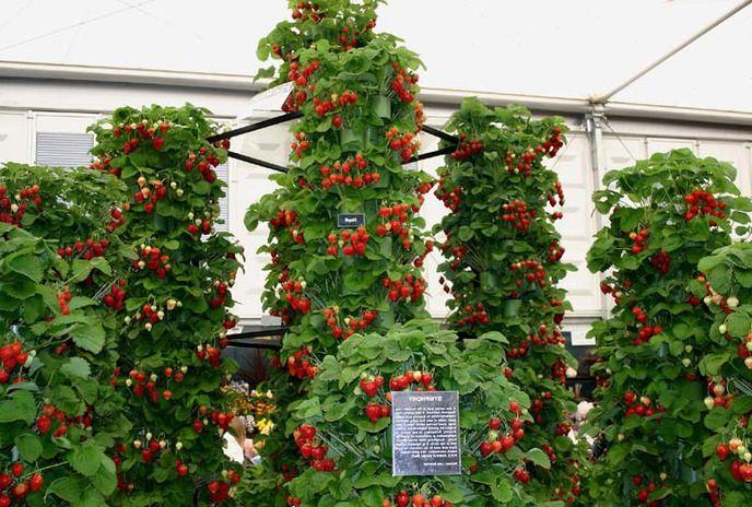Выращиваем клубнику на вертикальный грядках - экономим место