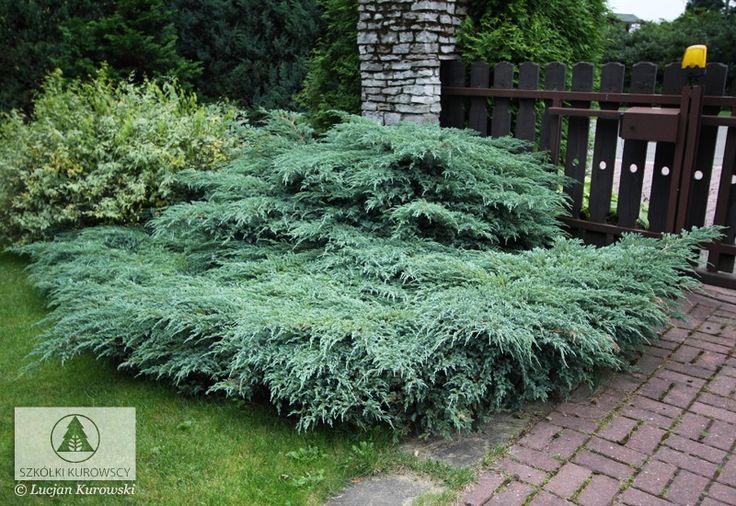 Juniperus Garden Plants Pinterest Carpets Drought