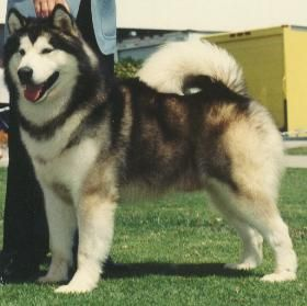 puppy I want when I have a house..Alaskan Malamute. So cute but huge