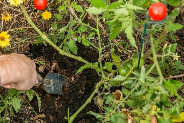 tomatoes coffee grounds