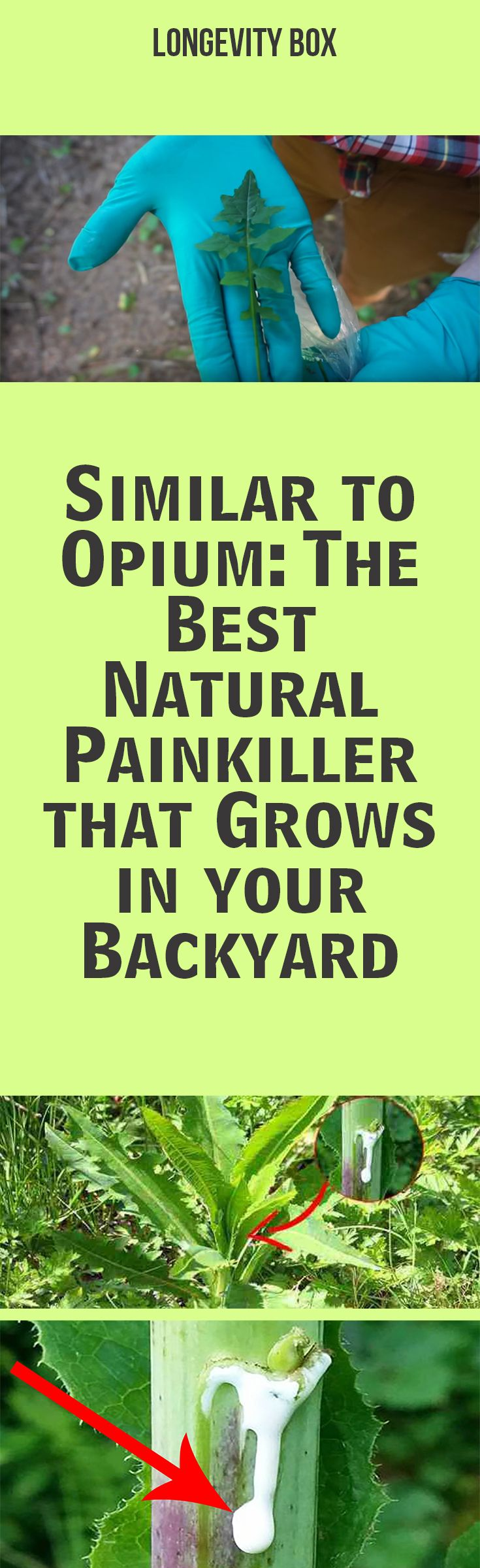 best 25 opium plant ideas on pinterest opium seeds wild