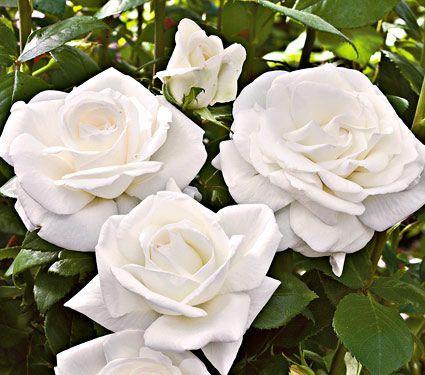 White Garden Rose Bush 465 best floral images on pinterest | flowers, flower gardening