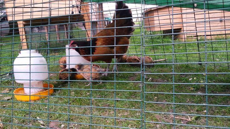 Vorwerk hen with chicks