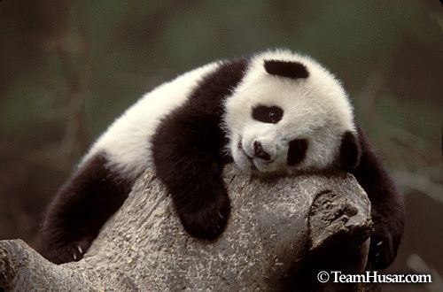 Panda cubs | Panda cub resting on top of an old tree in Wolong Nature Reserve ...