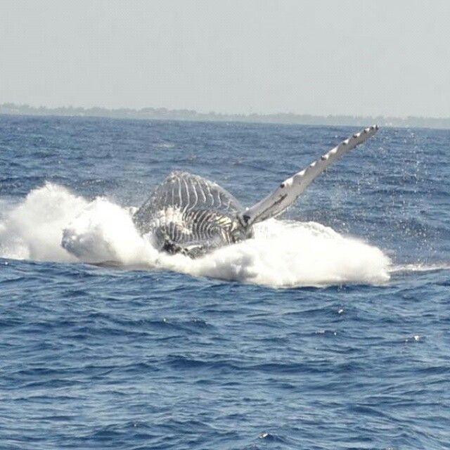 Watch a whale! https://m.facebook.com/pecheauxgros.ilemaurice