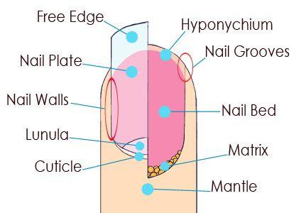 Nails Beautiqued: Fingernail Anatomy, Nail Saving Tips