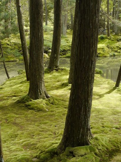 Pine trees on Moss covered forrest floor