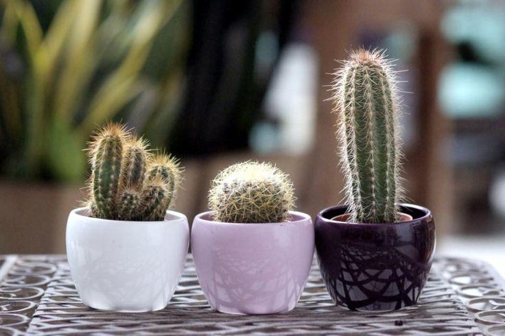 officeplant.pl kaktusy
