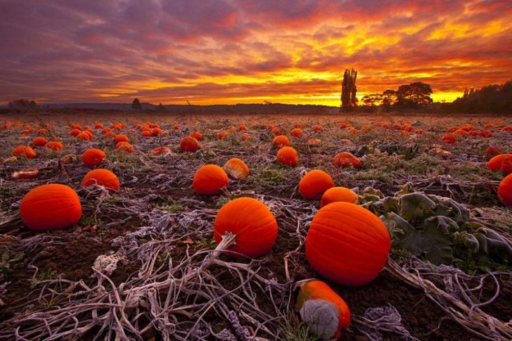 Abandoned pumpkin field - somewhere between melancholy and the romance from Cinderella. 787 X 524 - Imgur