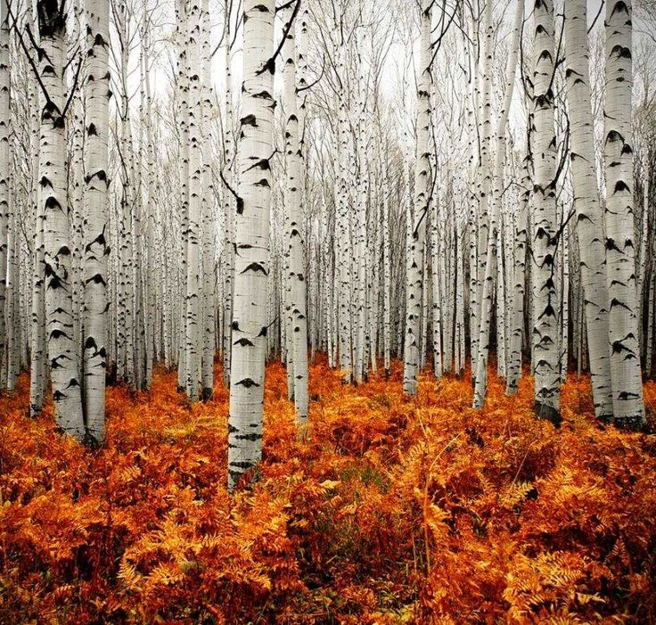 An Aspen Forest. It's like they're staring at me...