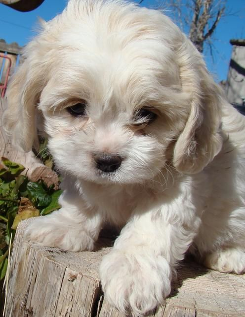 Cavachon Puppy-look at her eyes. I want to cuddle her :)