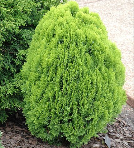 Thuja orientalis 'Morgan' - Conifers › Arborvitae | Maplestone Ornamentals