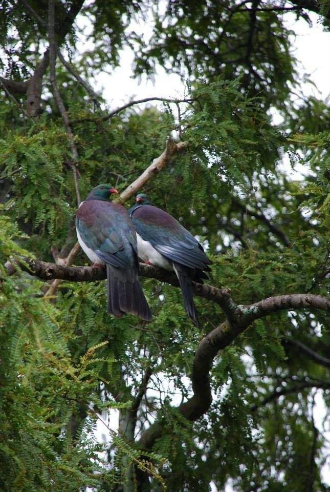 New Zealand Native pigeon - Kereru, these two visit us each year at nesting time - Robyn Jacob