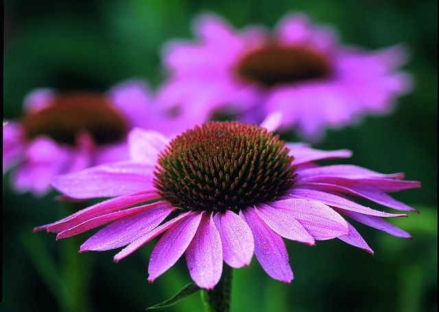 How flowers and vodka can make a brilliant cold remedy...echinacea tincture
