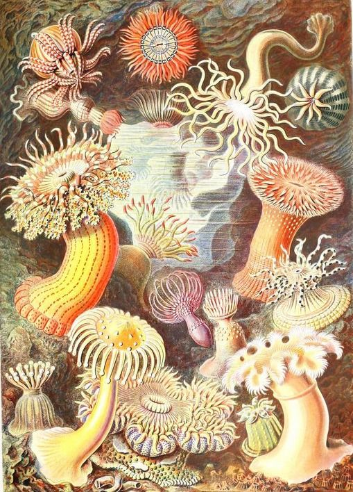 "Full color drawings of sea creatures by Ernst Haeckel. I believe the title of this book translates to ""Art Forms in Nature."" In the public domain, download this lovely ebook here in pdf epub or kindle format: https://archive.org/stream/kunstformenderna00haec"
