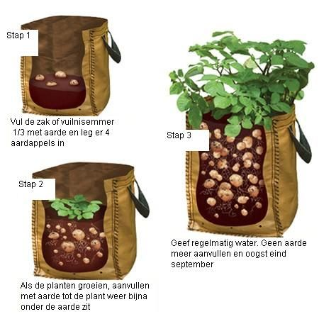 potato growing sprouts