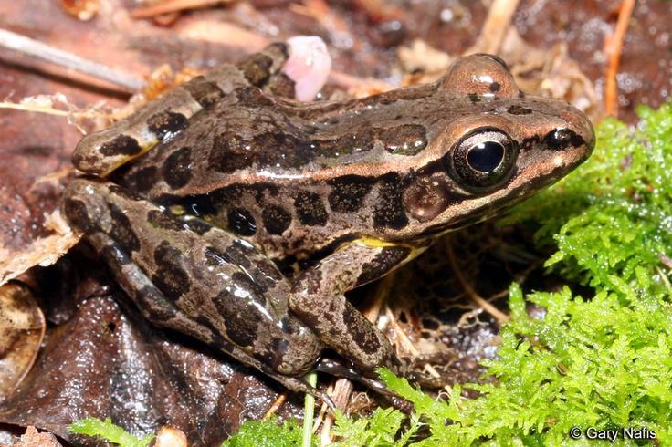 Pickerel frog--Lithobates palustris (used to be Rana Palustris)