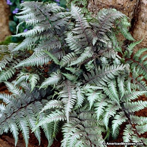 Japanese Painted Fern Red Beauty, Athyrium niponicum Red Beauty, Red Stemmed Japanese Painted Fern