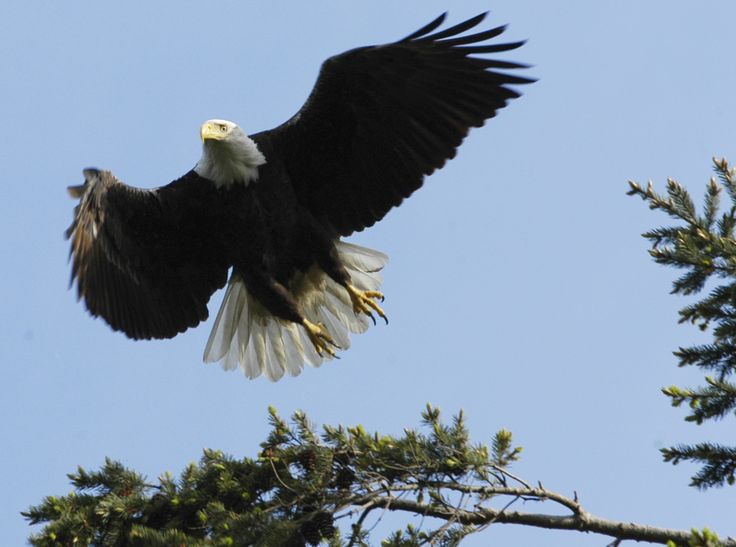 Eagle fishing on Long Lake in Nanaimo BC  #Nanaimo #MLI #ESL #LearnEnglish #Canada #BC #Homestay #StudyinCanada