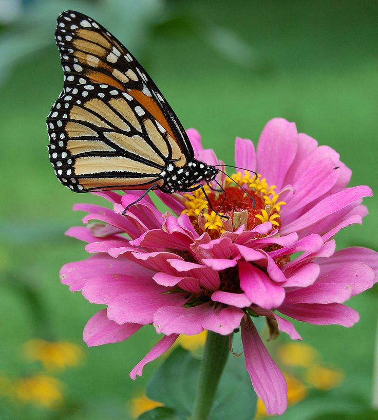 The Monarch butterfly (Danaus plexippus) is, perhaps, the best known butterfly in North America. This well known, and loved, butterfly lives on milkweed plants and migrates between northern North America and Mexico, where many of its overwintering areas are threatened by habitat destruction.