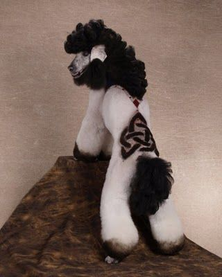 Black and White: Funny Dogs, Celtic Design, Standards Poodle, Dogs Grooms, Dogs Photos, Poodle Haircuts, Celtic Knot, Creative Grooms, Creative Dogs
