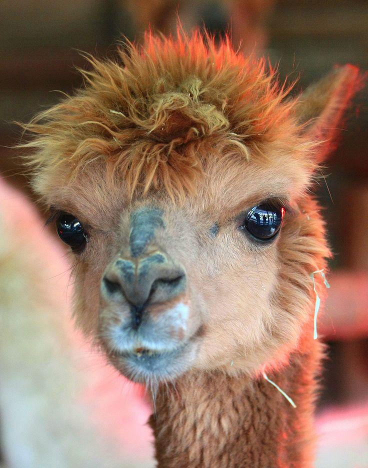 Baby llama                                                                                                                                                                                 More